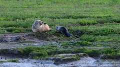 Seal and Pup (chris_m03) Tags: seal pup wildlife cropped