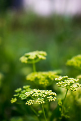 White yarrow (pap1tyy) Tags: deep details nature macro mini small magic yarrow white green blur trip grass painting paint love sun sky day spring