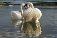 Cygnes en couple sur le Rhône à Lyon (Sam Photos with Sony native jpeg) Tags: cygnes lyon swan swans cygne river france couple rhône quai quaidurhône