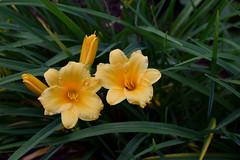 Daylilies 097 (jmunt) Tags: gardenflower garden daylily