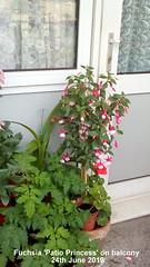 Fuchsia 'Patio Princess' on balcony 24th June 2019 (D@viD_2.011) Tags: fuchsia patio princess balcony 24th june 2019