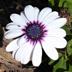 Lombard, IL, Lilacia Park, Spring, White African Cape Daisy (Mary Warren 13.6+ Million Views) Tags: lombardil lilaciapark garden park nature flora plants green leaves foliage bloom blossom flower white capedaisy