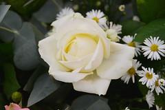 046 Unitalsi Gaeta 06.10.2018 (carlocorv1) Tags: fiore rosa colore verde natura petali foglie margherite ngc npc