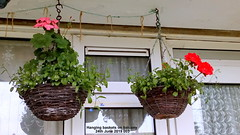 Hanging baskets on balcony 24th June 2019 003 (D@viD_2.011) Tags: hanging baskets balcony 24th june 2019