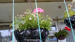 Hanging baskets on balcony 24th June 2019 002 (D@viD_2.011) Tags: hanging baskets balcony 24th june 2019