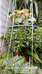 Hanging basket on left hand side wall of balcony 24th June 2019 (D@viD_2.011) Tags: hanging baskets balcony 24th june 2019