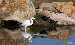 White-heron-&-dusky-moorhens_DSC7807 (Mel Gray) Tags: whiteheron birds heron huntervalleyzoo duskymoorhens greategret greatwhiteegret whiteegret greatwhiteheron