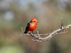 Príncipe (Alexandre Marino) Tags: pyrocephalusrubinus príncipe birds aves pássaros