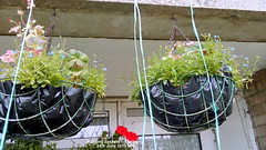 Hanging baskets on balcony 24th June 2019 004 (D@viD_2.011) Tags: hanging baskets balcony 24th june 2019