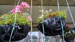 Hanging baskets on balcony 24th June 2019 001 (D@viD_2.011) Tags: hanging baskets balcony 24th june 2019