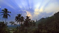 Sawah di awal pagi (rief3591) Tags: sawah pagi alam lanscape hijau banana tree sunrise