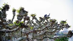 View from the bridge (Violet aka vbd) Tags: pentax k1ii k1markii hdpentaxda55300mmf4563edplmwrre germany vbd frankfurtammain tree planetree pigeons 2019 spring2019 handheld manualexposure