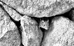 The Chipmunk in the Stone Wall. (WilliamND4) Tags: chipmunk animal stone wall blackandwhite monochrome nikon d810