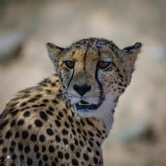 Cheetah (petraherdlitschke) Tags: africa afrika südafrika animals africanwildlife tier gepard outdoors outofafrica kgalagadi kalahari naturephotography nature canon canon7dmark2 sigma150600sport portrait cat wildlife wildlifephotography wild explore beautiful cheetah