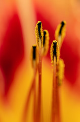 june (torivonglory) Tags: plants flowers blumen color bunt colorful garden closeup macro wachtendonk nordrheinwestfalen deutschland yellow red redyellow