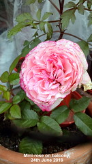 Mini-rose on balcony 24th June 2019 (D@viD_2.011) Tags: peony alexander fleming balcony going over 24th june 2019