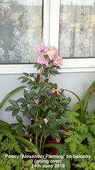 Peony 'Alexander Fleming' on balcony (going over) 24th June 2019 (D@viD_2.011) Tags: peony alexander fleming balcony going over 24th june 2019