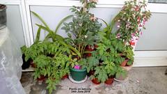 Plants on balcony 24th June 2019 (D@viD_2.011) Tags: plants balcony 24th june 2019