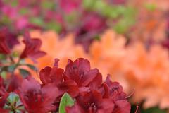 Different shades of Azalea (Abhay Parvate) Tags: azalea flowers colors garden nature red orange pink macro bokeh