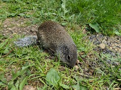 Franklin's Ground Squirrel (TheNovaScotian1991) Tags: