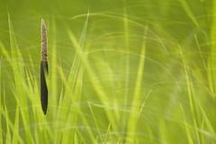 Broadleaf cattail (Marijke M2011) Tags: typhalatifolia grotelisdodde broadleafcattail reed green nature movement lisdodde canoneos5dmarkii marijkemooyphotography macro
