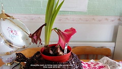 Amaryllis (red) on living room table going over 23rd June 2019 001 (D@viD_2.011) Tags: amaryllis red living room table going over 23rd june 2019
