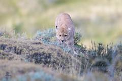 Stealthy Approach (Glatz Nature Photography) Tags: chile cougar bigcats patagonia southamerica nature wildlife wildanimal torresdelpaine puma predator panther mountainlion magallanes pumaconcolor lagosarmiento nikond850 glatznaturephotography simba sarmientocub2018