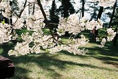 Transparency (しまむー) Tags: pentax mz3 fa 43mm f19 limited kodak gold 200 弘前城 桜祭り