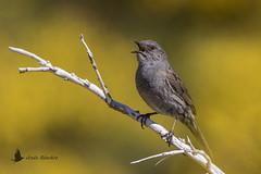 Acentor común (Prunella modularis) (jsnchezyage) Tags: prunellamodularis acentorcomún ave pájaro bird birding beak feather ornithology birdwatching dunnock ngc npc