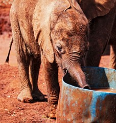 Orphan (Rod Waddington) Tags: africa african afrique afrika kenya nairobi elephant baby young drinking barrel orphanage
