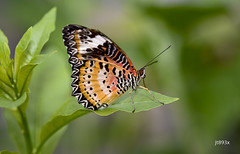 Leopard Lacewing (jt893x) Tags: 105mm afsvrmicronikkor105mmf28gifed butterfly cethosiacyane d810 insect jt893x lacewing leopardlacewing macro nikon thesunshinegroup coth alittlebeauty coth5