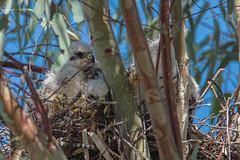 Some feathers coming in (Kukui Photography) Tags: wildlife hawk backyard bird nestlings arizona raptor coopers tucson coopershawk