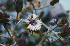 Fin (loanatilio) Tags: flor flores flower photography fotografía marchita viejo ver verde blanco copo florecer vivir morir