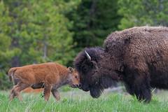 Learning From Mom (Amy Hudechek Photography) Tags: red buffalo bison reddog baby wildlife nature ynp yellowstonenationalpark play fight teaching learning mom mother amyhudechek nikond500 nikon600mmf4