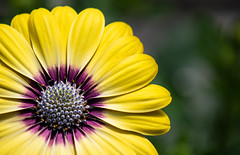 The Sun is Shining, Come on get Happy (vanessa violet) Tags: thesunisshiningcomeongethappy comeongethappy flower summer nature june yellow