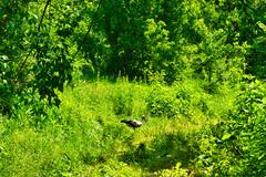 IMG_5801 (gidlark) Tags: flora plant green grass animal bird stork trees