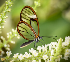 Glasswinged (jt893x) Tags: 105mm afsvrmicronikkor105mmf28gifed butterfly clearwing d810 glasswing glasswinged gretaoto insect jt893x macro nikon thesunshinegroup coth alittlebeauty coth5 sunrays5