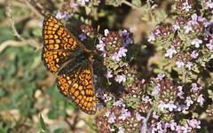 Damier de la succise sur du thym - IMB_0052 (6franc6) Tags: papillon occitanie languedoc gard 30 balade lavaunage avril 2019 6franc6 vélo kalkoff vae explore