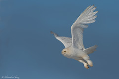Snowy Owl (a.chiezzi) Tags:
