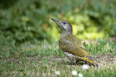 European green woodpecker (juv.) -  Grünspecht (rengawfalo) Tags: europeangreenwoodpecker grünspecht vogel vögel bird birds animal tier tiere natur nature wildlife outdoor grass wiese wood wald birder birding picusviridis juvenil