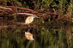 Crabier chevelu - Squacco Heron (Ardeola ralloides) - Décines-Charpieu - La Droite (Rhône) France, le 24 juin 2019 (Loïc Le Comte) Tags: crabierchevelu squaccoheron ardeolaralloides décinescharpieu