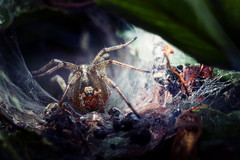 creepy Spider (patrick_illhardt) Tags: spider insect arachnid cave web netz macro makro animals spinne funnelweb tierfotografie tiere spinnentiere