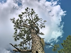 Cloud Canopy (surfcaster9) Tags: pinetree clouds sky lowangle nature lumixg7 lumix20mmf17llasph florida forest outdoors blue branches