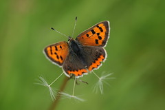 Small Copper (Chris*Bolton) Tags: smallcopper butterfly butterflies insect insects nature rathdrum wicklow ireland