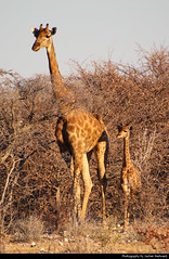 Giraffe with young one, Etosha NP, Namibia (JH_1982) Tags: giraffe giraffa 长颈鹿 기린 жирафы camelopardalis animal animals wildlife nature tier tiere waterhole baby child mother small bushes natur etosha national park nationalpark np pn parque parc nacional etoscha 埃托沙國家公園 этоша namibia namibië 纳米比亚 ナミビア 나미비아 намибия