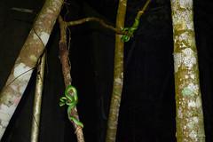 Pair of Bamboos (Bob Hawley) Tags: asia taiwan nikond7100 nikon28105mmf3545afd outdoors wildlife reptiles animals herpetology nature nighttime viridoviperastejnegeristejnegeri greenbambootreeviper trimereserusstejnegeri poisonous venomous trees hunting pingtung beidawushan