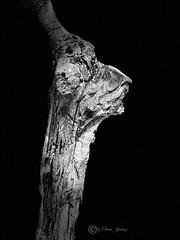 Tronco (Chema Jiménez53) Tags: nudo caprichosa tronco árbol