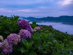 Hydrangeas with sea of clouds (yukilanieve) Tags: chichibu minano saitama 秩父 皆野 埼玉 50r gf3264mmf4 japan gfx daybreak