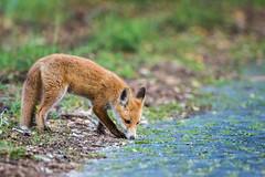 fox cup (Fotos aus OWL) Tags: wildlife wild natur senne fox fuchs