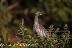 Goa [Panchayat] Paddyreiher Engl. Indian pond heron (Ardeola grayii) (bernard336) Tags: india indien vogel bird goa paddyreiher indian pond heron ardeola grayii reiher